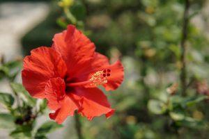 róża chińska