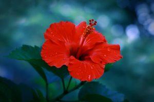 kwiatów hibiskusa