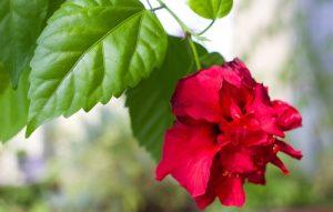hibiskus ogrodowy